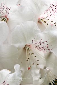 Image of white azaleas