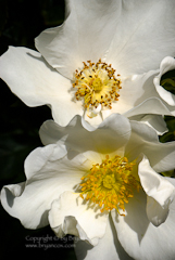 Photo of white roses from the Portland Rose Garden