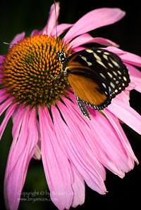 Photograph of a golden helicon butterfly on an echinacea blossom