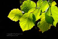 Image of filbert leaves
